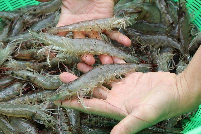 AIT GREEN công nghệ mới áp dụng trong nuôi tôm